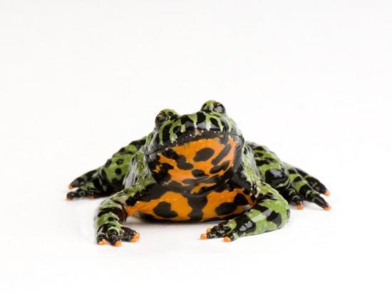joel-sartore-oriental-fire-bellied-toad-bombina-orientalis