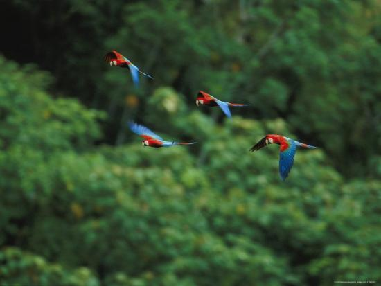 joel-sartore-red-and-green-macaws-in-flight-in-madidi-national-park
