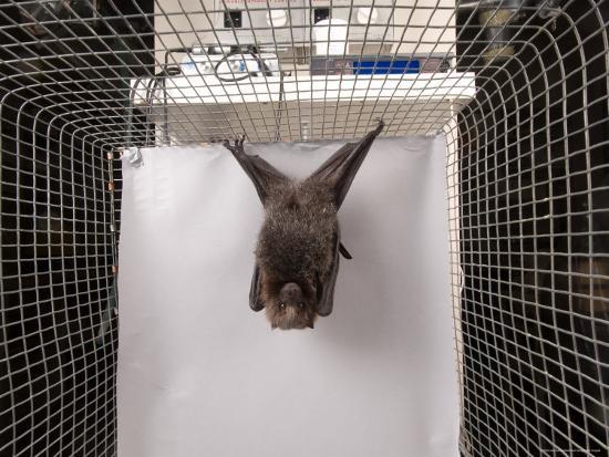 joel-sartore-rodrigues-fruit-bat-lincoln-nebraska