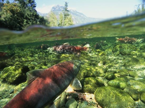 joel-sartore-salmon-underwater-clayoquot-sound-vancouver-island