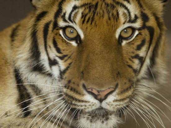 joel-sartore-siberian-tiger-from-the-omaha-zoo-nebraska
