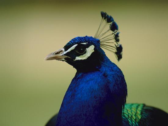 joel-sartore-the-head-of-a-beautiful-blue-peacock-pavo-sp