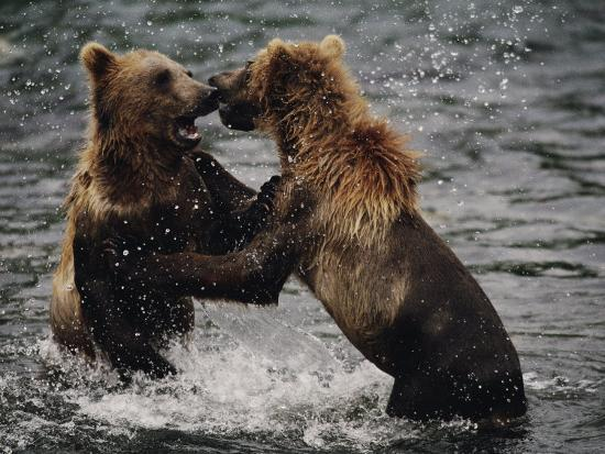 joel-sartore-two-grizzlies-up-on-their-hind-legs-fight-in-the-water