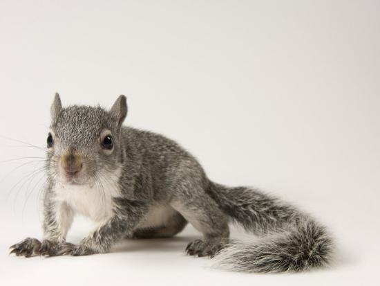 joel-sartore-young-western-gray-squirrel-sciurus-griseus