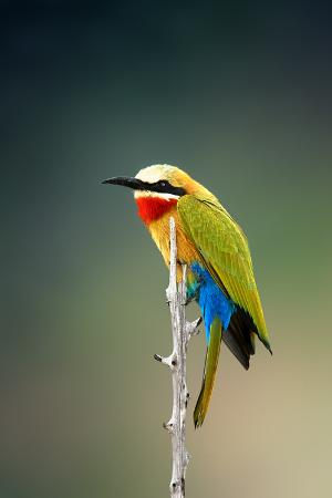 johan-swanepoel-whitefronted-bee-eater-merops-bullockoides-kruger-national-park-south-africa
