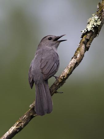 john-abbott-gray-catbird-dumetella-carolinensis-male-vocalizing-virginia-usa