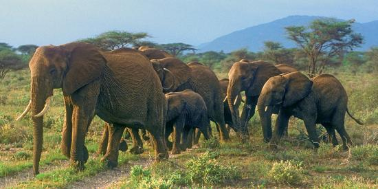 john-alves-group-of-african-bush-elephants-on-the-move-in-samburu-national-reserve-kenya