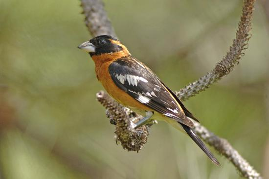 john-alves-male-black-headed-grosbeak