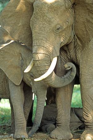 john-alves-mother-african-elephant-protecting-two-babies