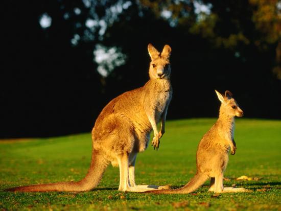 john-banagan-kangaroo-and-joey