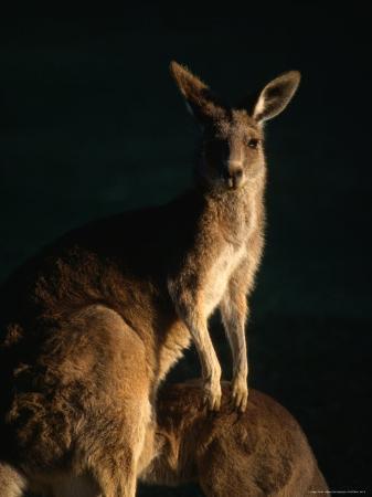 john-banagan-kangaroo-at-night-anglesea-australia