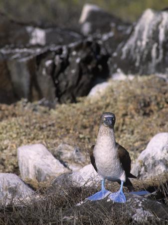 john-barbara-gerlach-a-blue-footed-booby-sula-nebouxii-galapagos-islands-ecuador