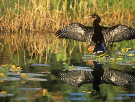 john-barbara-gerlach-anhinga-drying-its-wings-anhinga-anhinga-note-its-reflection-in-the-marsh-pond-southern-usa