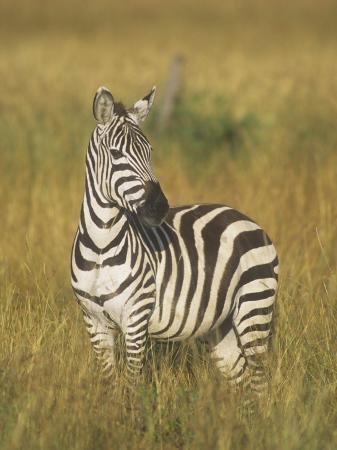 john-barbara-gerlach-burchell-s-or-common-zebra-equus-burchellii-masai-mara-kenya-africa