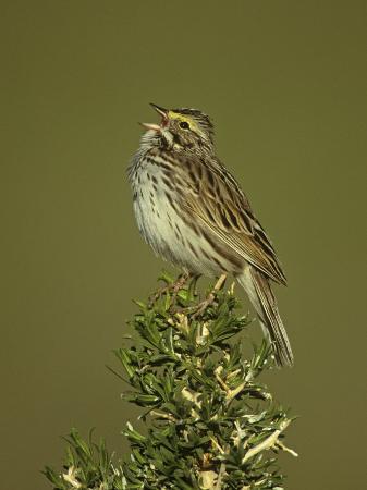 john-barbara-gerlach-savannah-sparrow-singing-passerculus-sandwichensis-western-usa