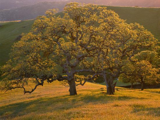 john-barger-usa-california-south-coast-range-valley-oaks-and-grasses-glow-in-sunset-light