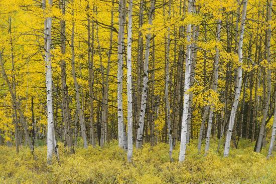 john-barger-usa-colorado-gunnison-national-forest-fall-colored-aspen-grove-in-the-west-elk-mountains