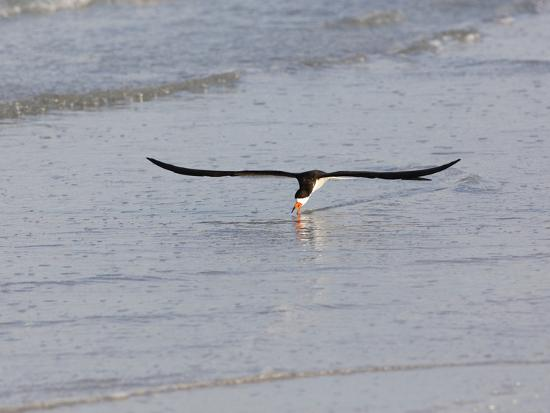 john-cornell-black-skimmer-rynchops-niger-foraging-for-fish-by-skimming-the-water-s-surface