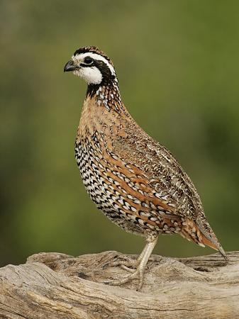 john-cornell-northern-bob-white-colinus-virginianus-male-texas-usa