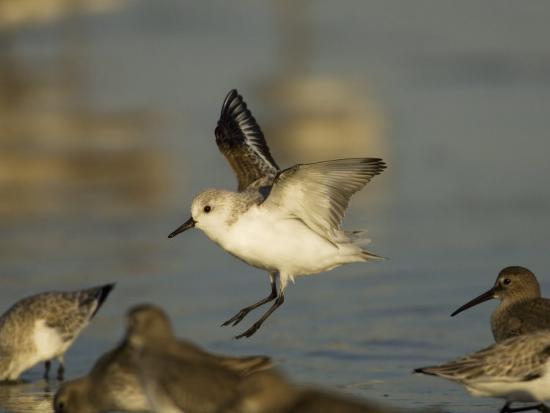 john-cornell-sanderling-calidris-alba-landing-in-a-mixed-flock-of-various-shorebirds-florida-usa