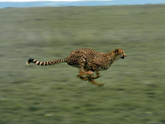 john-dominis-cheetah-running-across-grassland-in-country-in-africa