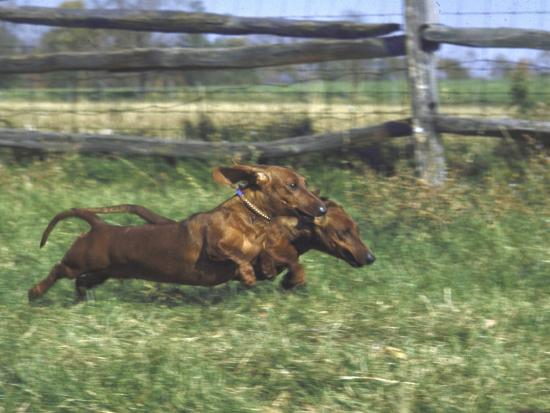 john-dominis-dachshunds-running-low-to-the-ground-during-gazehound-race