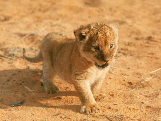 john-dominis-lion-cub-in-africa