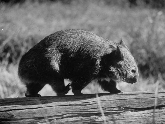 john-dominis-wombat-walking-on-a-log