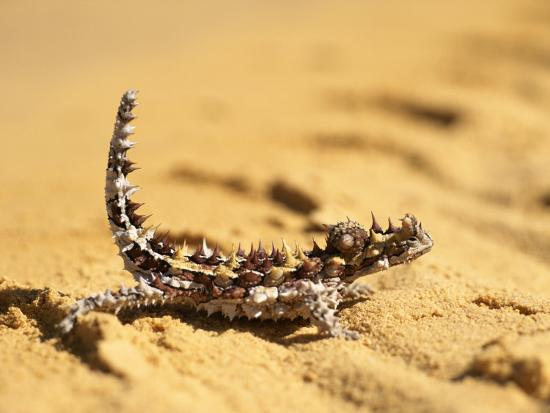 john-dunn-arctic-light-a-thorny-devil-moloch-horridus-on-sand
