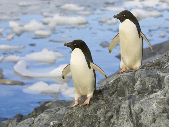 john-eastcott-yva-momatiuk-adelie-penguins-walking-along-rocky-shore-by-a-bay-with-floating-ice