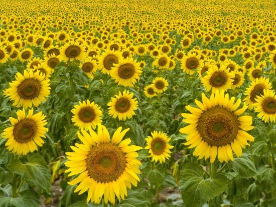 john-eastcott-yva-momatiuk-field-of-sunflowers