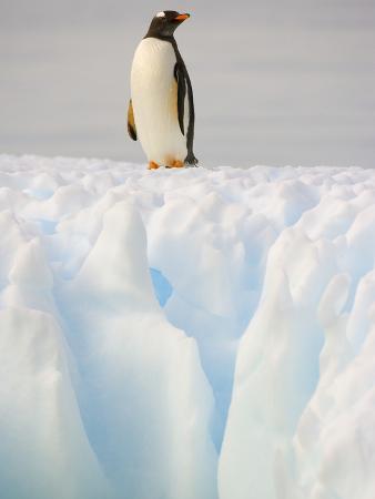 john-eastcott-yva-momatiuk-gentoo-penguin-on-ice-floe-on-the-antarctic-peninsula