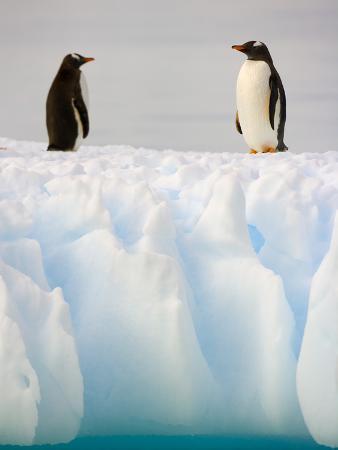 john-eastcott-yva-momatiuk-gentoo-penguins-standing-on-ice-floe