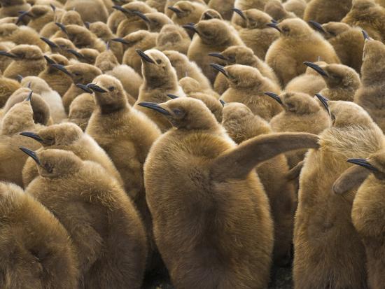 john-eastcott-yva-momatiuk-king-penguin-chicks-aptenodytes-patagonicus-in-a-rookery