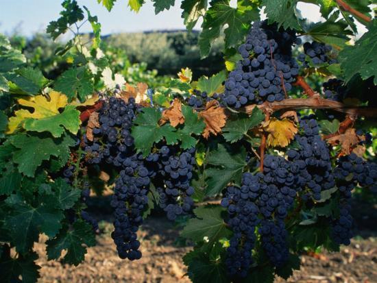 john-elk-iii-grapes-growing-at-mirassou-vineyards-san-jose-usa