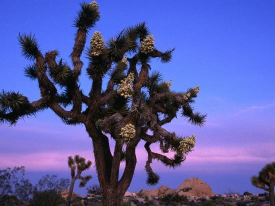john-elk-iii-wildflowers-joshua-trees-joshua-tree-national-park-california
