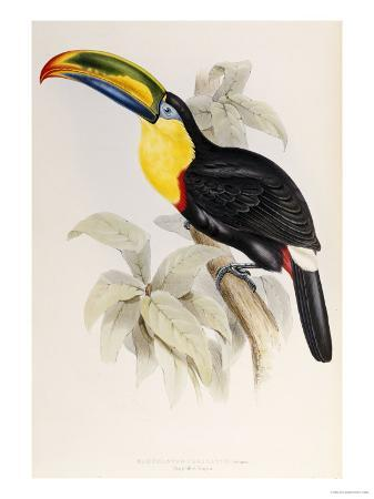 john-gould-a-monograph-of-the-ramphastidae-or-family-of-toucans-1834