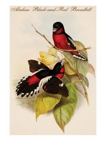 john-gould-abakan-black-and-red-broadbill