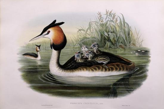 john-gould-and-h-c-richter-great-crested-grebe-podiceps-cristatus