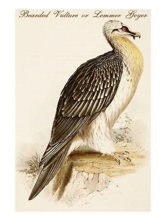 john-gould-bearded-vulture-or-lemmer-geyer