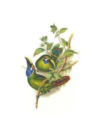 john-gould-blue-throated-toucanet
