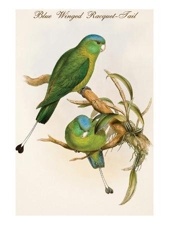 john-gould-blue-winged-racquet-tail