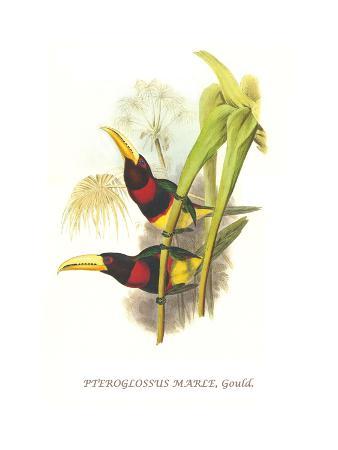 john-gould-brown-mandibled-aracari