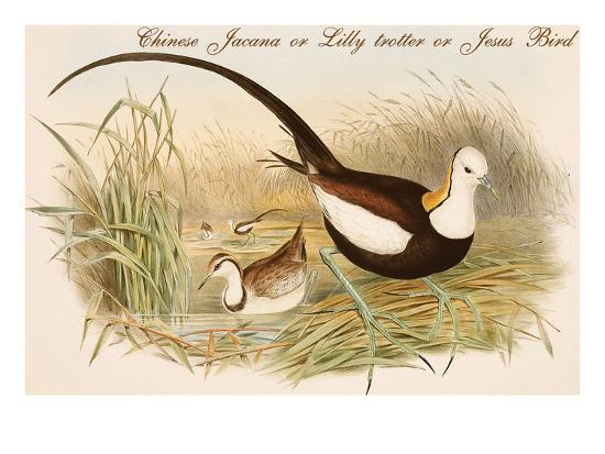 john-gould-chinese-jacana-or-lilly-trotter-or-jesus-bird