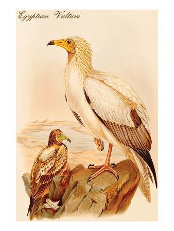 john-gould-egyptian-vulture
