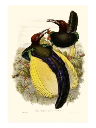 john-gould-gould-bird-of-paradise-iv