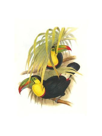 john-gould-rainbow-or-keel-billed-toucan