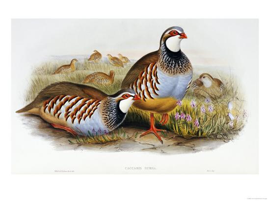 john-gould-red-legged-partridges-caccabis-rubra