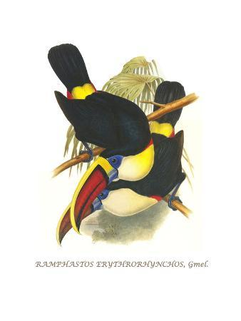 john-gould-whie-throated-or-red-bulled-toucan