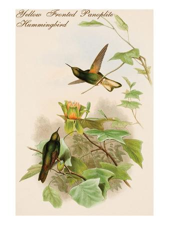 john-gould-yellow-fronted-panoplite-hummingbird